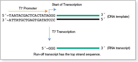 Figure 1. Transcription by T7 RNA Polymerase
