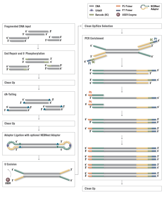 DNA Library Preparation Workflow for Illumina