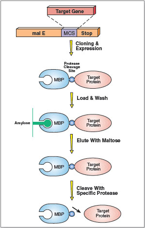 Figure 1: Schematic illustration of purification using pMAL system