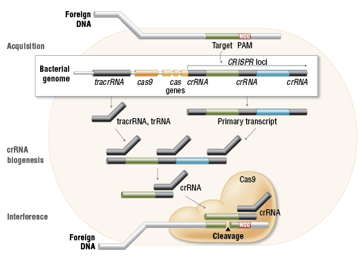 Cas9 in vivo: Bacterial Adaptive Immunity