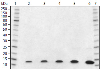 SDS-PAGE analysis of Histone H4 Human, Recombinant