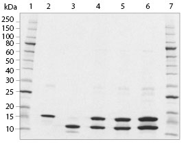 SDS-PAGE analysis of Histone H3.1/H4 Tetramer Human, Recombinant