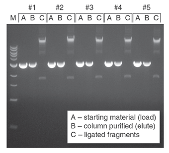 DNA purified from agarose gels using the Monarch DNA Gel Extraction Kit can be reproducibly isolated and ligated. Two micrograms of a 3 kb fragment with compatible ends was resolved on a 1% agarose gel, excised, and purified using the Monarch DNA Gel Extraction Kit. Samples were eluted in 20 μl and a fraction (1/4 th of total) was ligated using the Blunt/TA Ligase Master Mix (NEB #M0367 (https://www.neb.com/products/m0367-blunt-ta-ligase-master-mix) ). Representative samples from 5 replicates were resolved on a second 1% agarose gel. M is the 1 kb DNA Ladder (NEB #N3232 (https://www.neb.com/products/n3232-1-kb-dna-ladder) ).