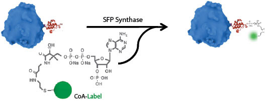 Figure 1:SFP labeling reaction
