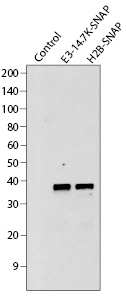 Western blot analysis of SNAP-tag fusion proteins expressed in mammalian cells.