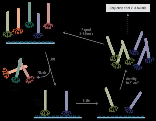 Ph D ™-12 Phage Display Peptide Library Kit | NEB