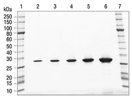 SDS-PAGE analysis of Histone H10 Human, Recombinant