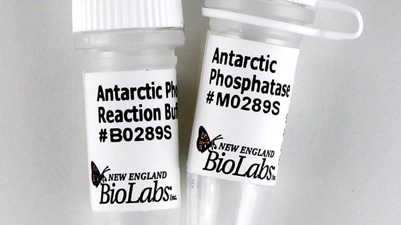 Antarctic Phosphatase