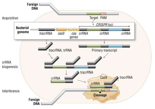 Cas9 in vivo: Immunité Adaptative Bactérienne