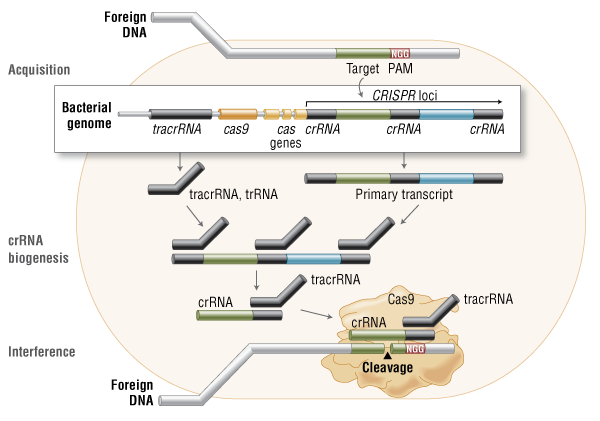 Crisprcas9 and targeted genome editing a new era in molecular cas9 in vivo bacterial adaptive immunity ccuart Images