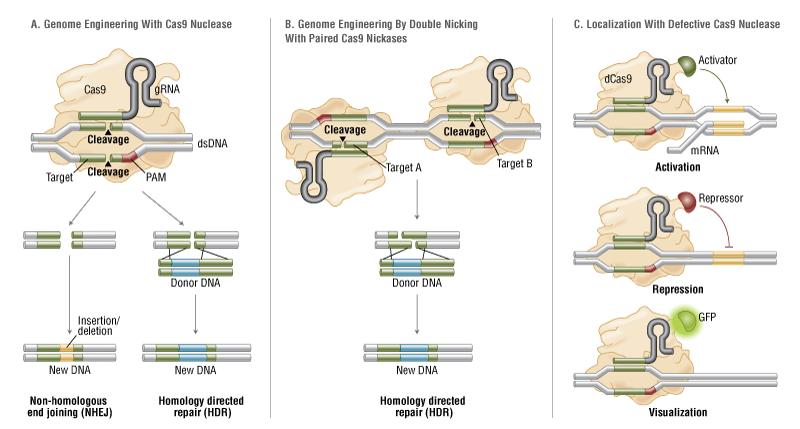 Applications du système CRISPR / Cas9