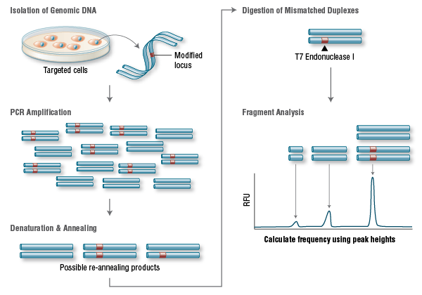 T7 Endonuclease I Targeting Efficiency Assay
