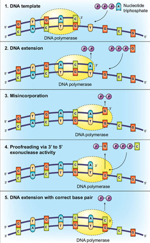 Polymerase Exonuclease Activity