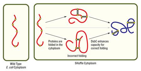 origami e.coli genotype