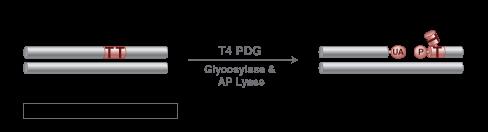 T4 PDG (T4 Endonuclease V)   NEB