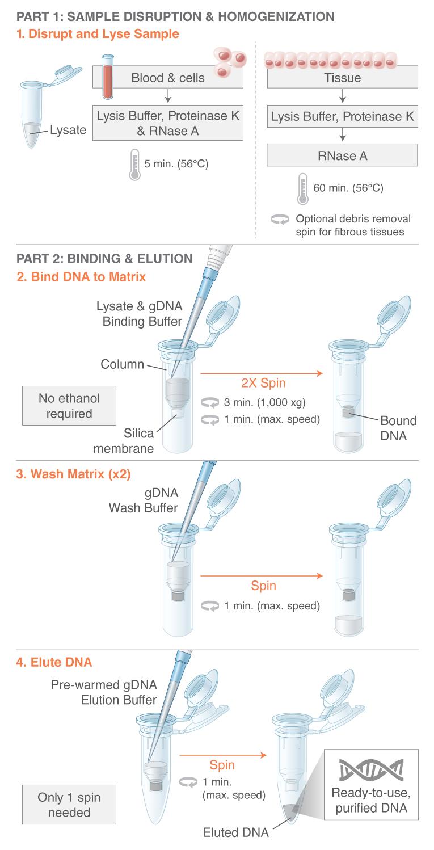 Monarch Genomic Dna Purification Kit Neb