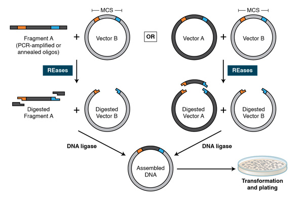 restriction endonucleases  molecular cloning and beyond