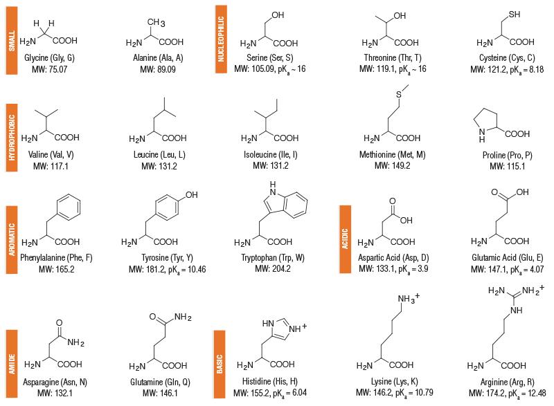 Amino Acid Structures NEB