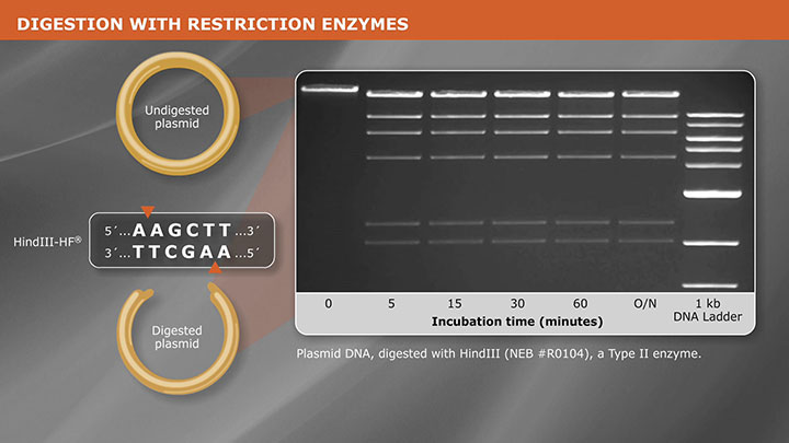 Cloning With Restriction Enzymes