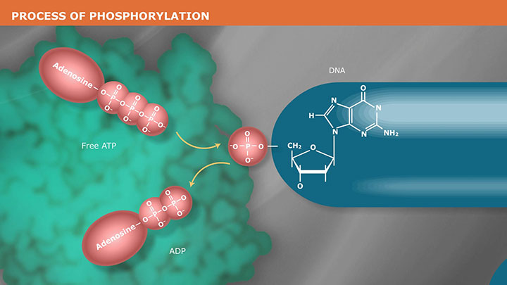 PhosphorylationVideo_thumb
