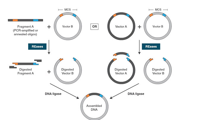 Dna polymerase i large klenow fragment neb traditional cloning workflow ccuart Choice Image