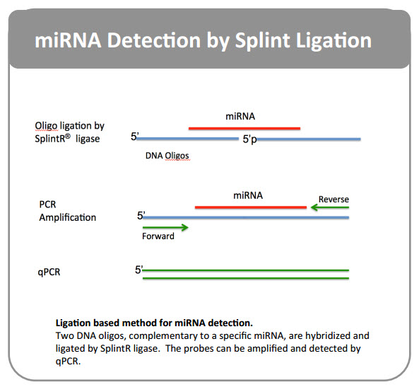 miRNA Detection by Ligation and Amplification of Complementary DNA oligos Using SPlintR ligase
