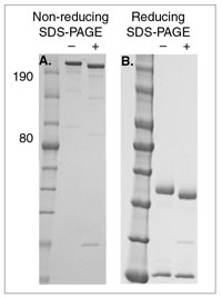 pngase f procotol Protocol 1a homogenisation of organs  seal the falcon® tube, put on ice and  take it to the next stage of the protocol  protocol 3a pngase f digestion.