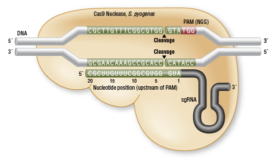 nuclease digestive system