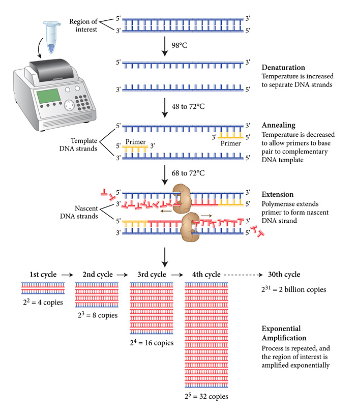 the amplification of dna by polymerase Specific enzymatic amplification of dna in vitro: the polymerase chain  reaction k mullis, f faloona, s scharf, r saiki, g horn, and h  erlich.